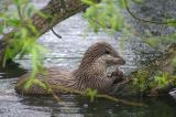 Otters at Norfolk Otter Reserve