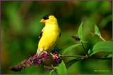 American Goldfinch Male on Butterfly bush
