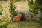 18-Female Elk