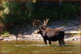 59- Moose at Grand Teton National Park