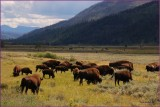 61 - Yellowsone National Park Bison Herd
