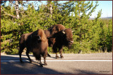 66- Yellowstone National Park  / A bit of road managment by the Bisons