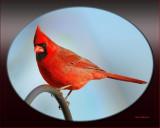Male Cardinal