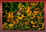 Swallowtail on Blackeye Susans