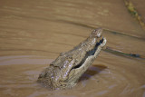 Junkyard croc, Caye Caulker, Belize, Central America