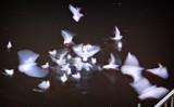 gulls on Vltava river