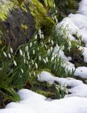 snow+drops2