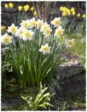 Rosemary's daffs(2)