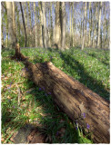 Standish Woods, spring(3)