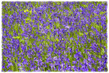 bluebellwall