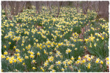 Daft amount of daffs, Kempley