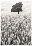 Harvest(2009), red filter, platinum toned