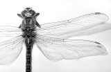 Dragonfly 2009