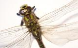 Dragonfly 2009(2)