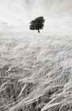 2148-barleyfield(2)
