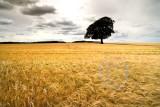 2151-Lone Tree Golden Sea