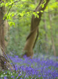 Bluebell Woods and Dyrham Park, July 2010