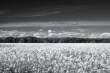 1943-oilseed rape field, mono