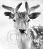 1959-Dyrham deer