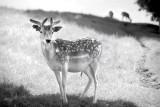 1961-Dyrham deer(pl)
