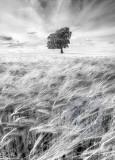 2148-Barleyfieldsoft