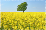 oilseed rape(1)