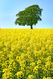 oilseed rape(2)