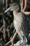 Yellow-crowned Heron (Santa Cruz)