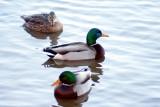Local quackers