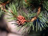 Future pine cones