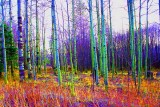 Colorized birch trees