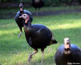 Turkeys - not in flight