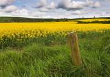 Field of rapeseed.jpg