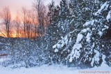 Snow Covered Trees At Dawn.jpg