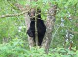 Bear in Cades Cove TN