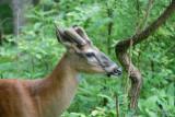 Deer in Cades Cove TN