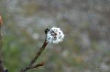 Unknown Flower 3 Jasper National Park