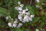 Unknown Flower 5 Jasper National Park