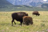 Buffalo in Compound 2