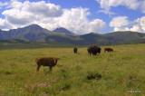 Buffalo in Compound 3
