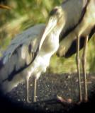 Wood Stork - 9-13-08 - TVA Lake - Wood Stock kneeling