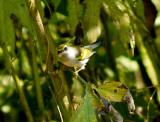 Golden-winged Warbler - 10-5-08 Eagle Lake -