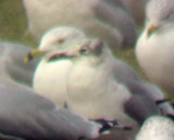 Laughing Gull - 1-3-09 Tunica Dump -