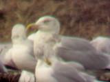 Herring Gull - 1-3-09 adult