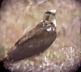 Swainson's Hawk - 4-25-09