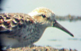 Western Sandpiper - May 10 - Ensley,  female back