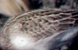 Semipalmated sandpiper - imm. 8-22-05 gray