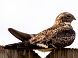 Common Nighthawk - 6-6-09 Ensley
