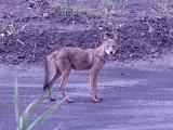 Coyote - young - Aug. 09- Ensley