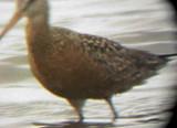 Hudsonian Godwit - 5-17-09 Ensley 2.jpg